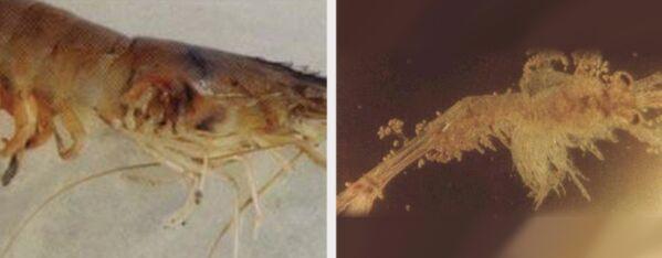 镰刀菌病、丝状细菌病