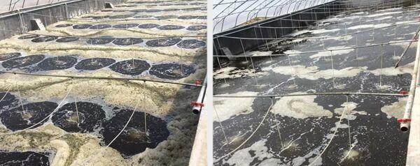 南美白对虾养殖用中压灯紫外线杀菌器使用前后对比